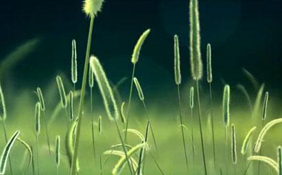 唯美狗尾巴花视频背景素材