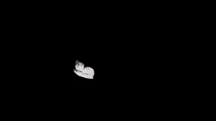蝴蝶飞舞动态视频(带通道)