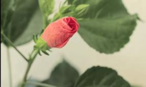 实拍自然风景 花开放2 视频素材