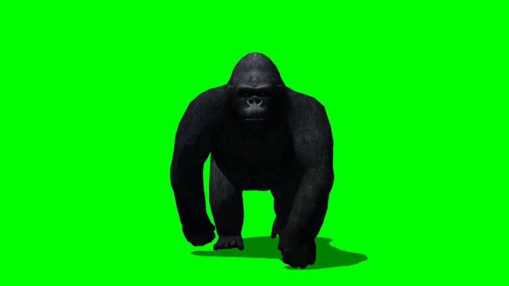 猩猩动态视频素材
