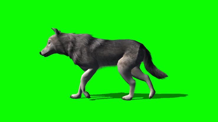 狼动态视频素材