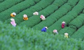 实拍人文景观 茶田采茶 视频素材