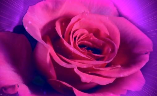 玫瑰花开花紫色婚礼情人节LED视频素材
