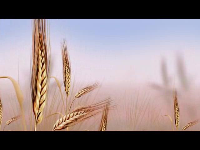 麦穗随风摇曳