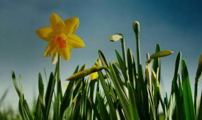 花朵开放 黄花开花延时摄影高清视频素材