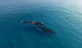 大海中嬉戏的鲸鱼高清实拍视频素材