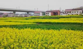 陕西汉中油菜花高清实拍视频素材