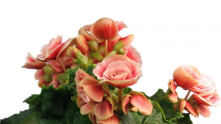 美丽鲜花开放视频素材